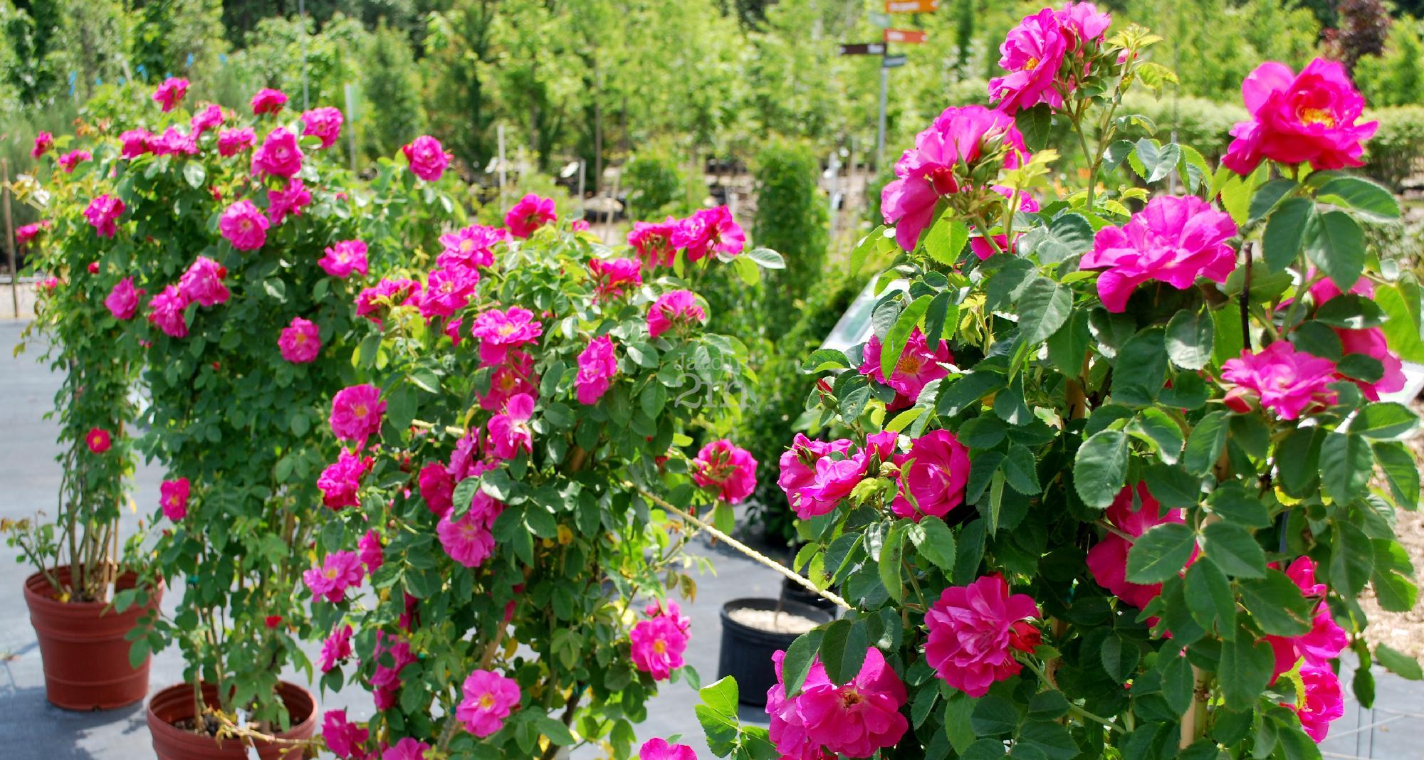 Rosa rugosa john cabot grimpant rosier explorateur rose nos v g taux jardin2m - Comment tailler un rosier grimpant ...