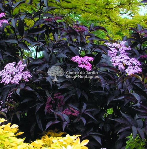 "Black To Black Flowers 4: Sambucus Nigra ""Black Beauty"" (gerda)"