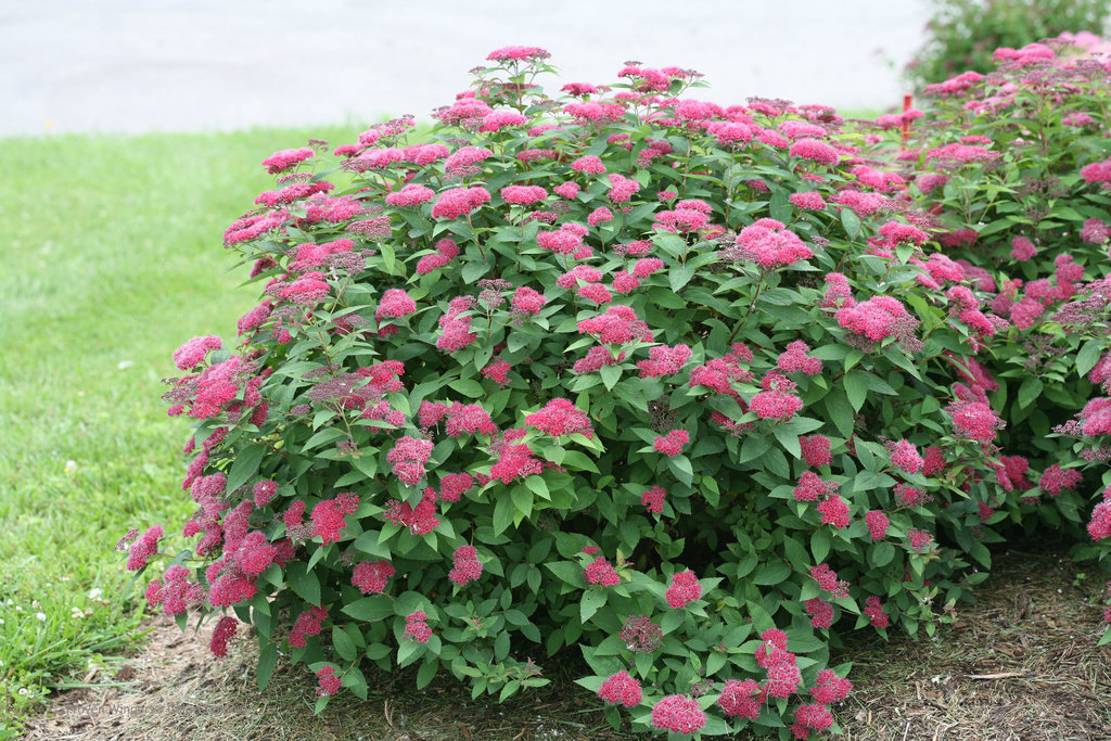 Spiraea Japonica Double Play Red Spiree Japonaise Japanese