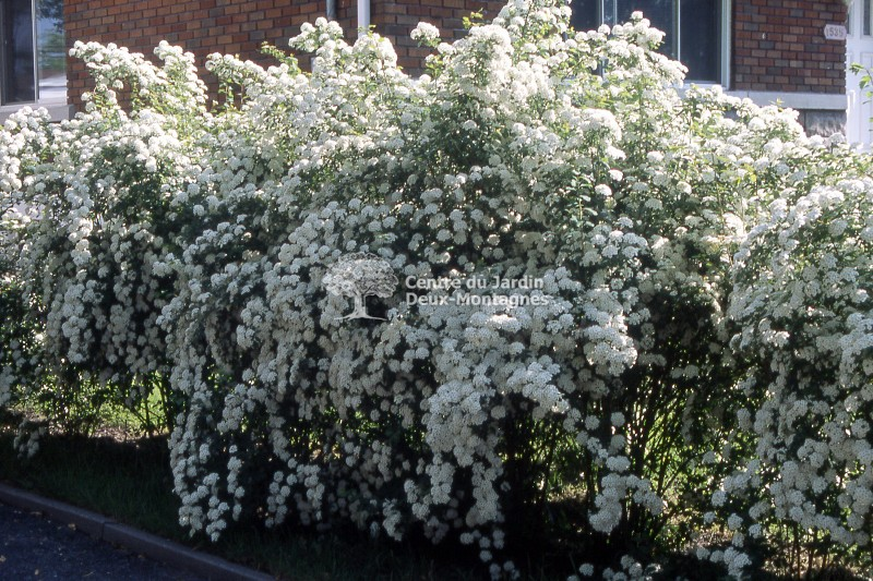 spiraea x vanhouttei spir e courrone de mariee bridal wreath spirea nos v g taux jardin2m. Black Bedroom Furniture Sets. Home Design Ideas