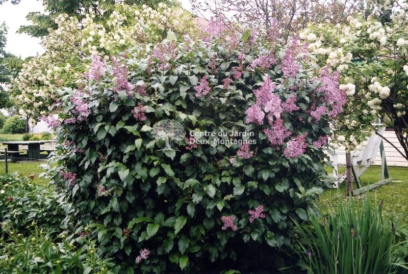 Syringa prestoniae james mc farlane lilas de preston for Jardin 2 montagnes