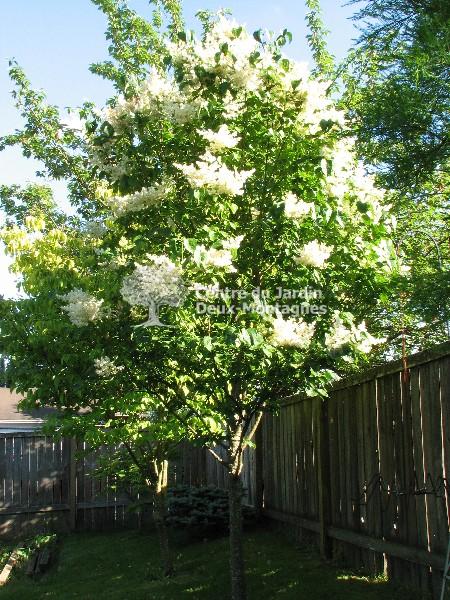 Syringa reticulata ivory silk tige lilas japonais japanese tree lilac nos v g taux - Arbre japonais rose ...