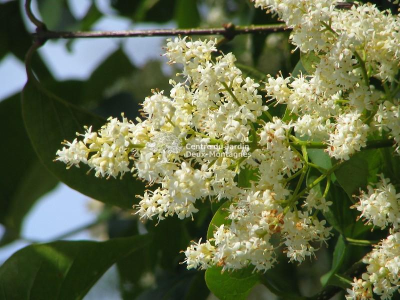 "Syringa reticulata ""Ivory Silk"" (tige) - Lilas Japonais ..."