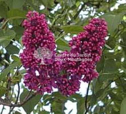 syringa vulgaris charles joly tige lilas commun francais common lilac nos v g taux. Black Bedroom Furniture Sets. Home Design Ideas