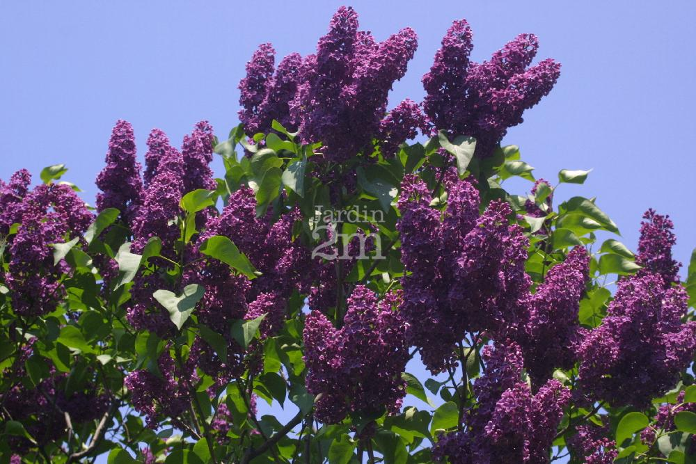 syringa vulgaris lilas commun common lilac nos v g taux jardin2m. Black Bedroom Furniture Sets. Home Design Ideas