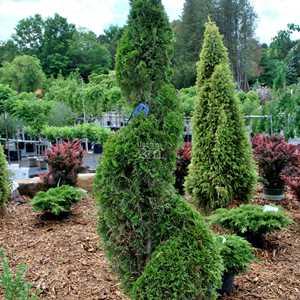 thuya occidentalis degroots spire c dre american. Black Bedroom Furniture Sets. Home Design Ideas