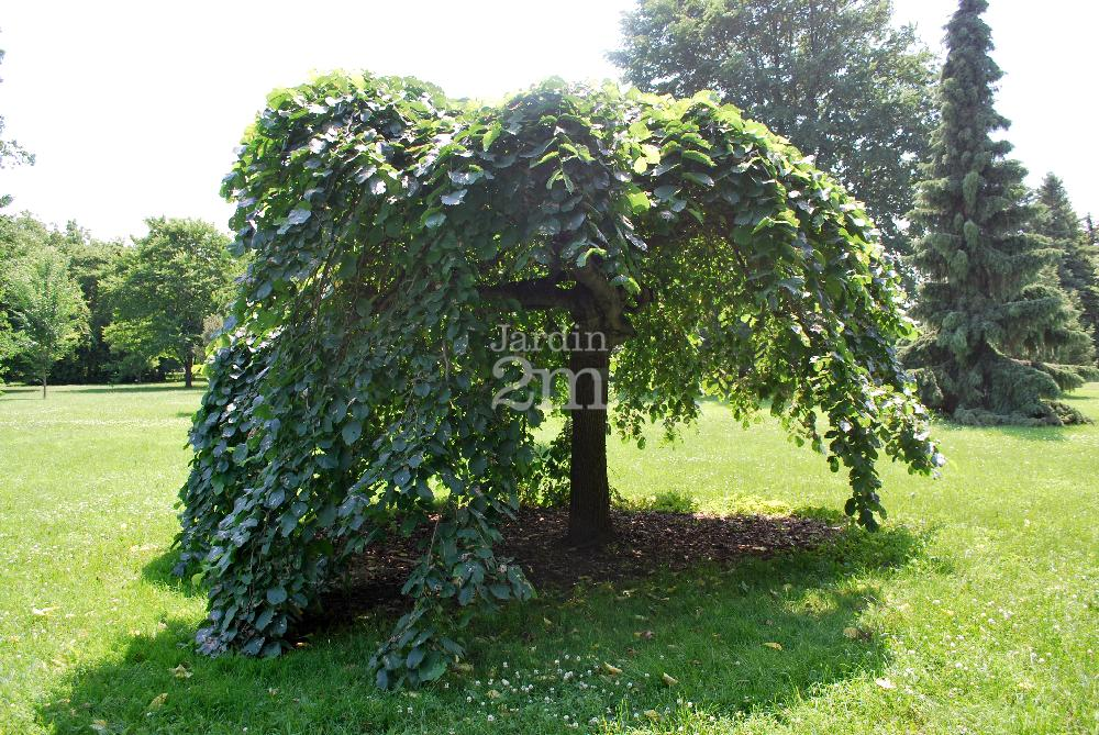Ulmus glabra horizontalis pendula orme parasol for Jardin 2 montagnes