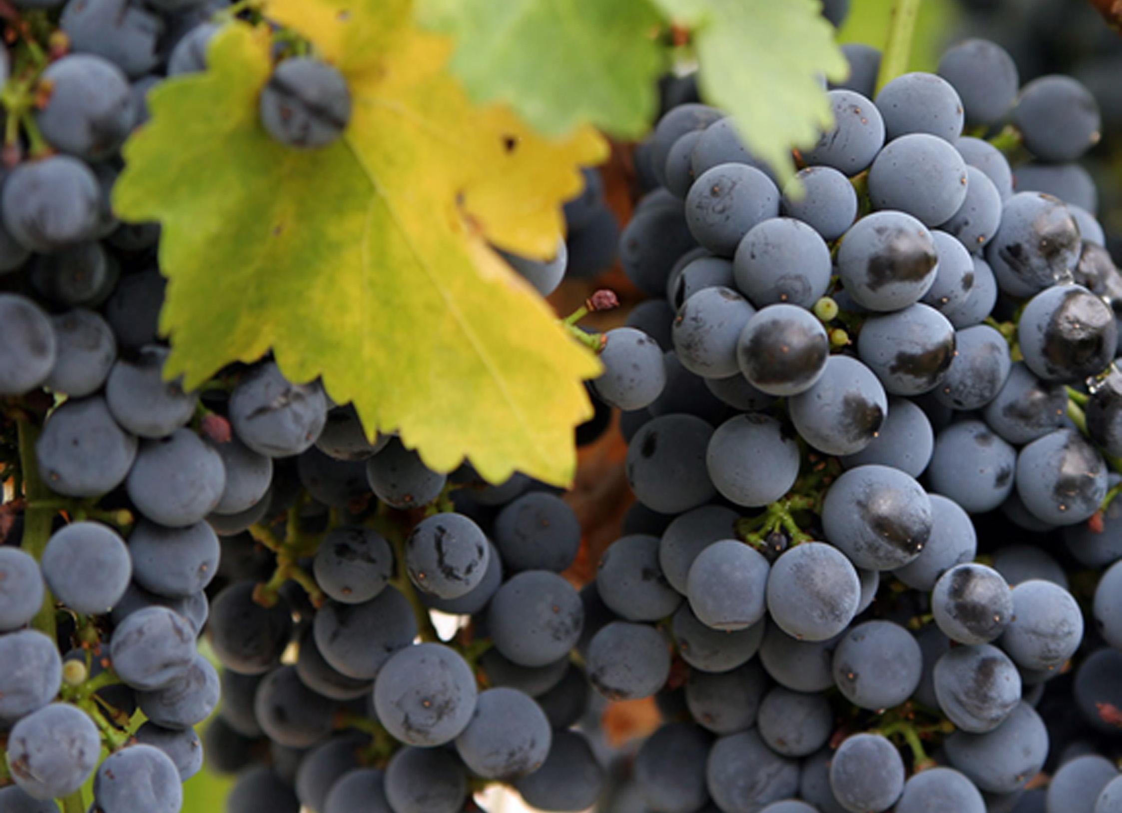 Vigne raisins ste croix bleu avec pepin raisins - Entretien de la vigne ...