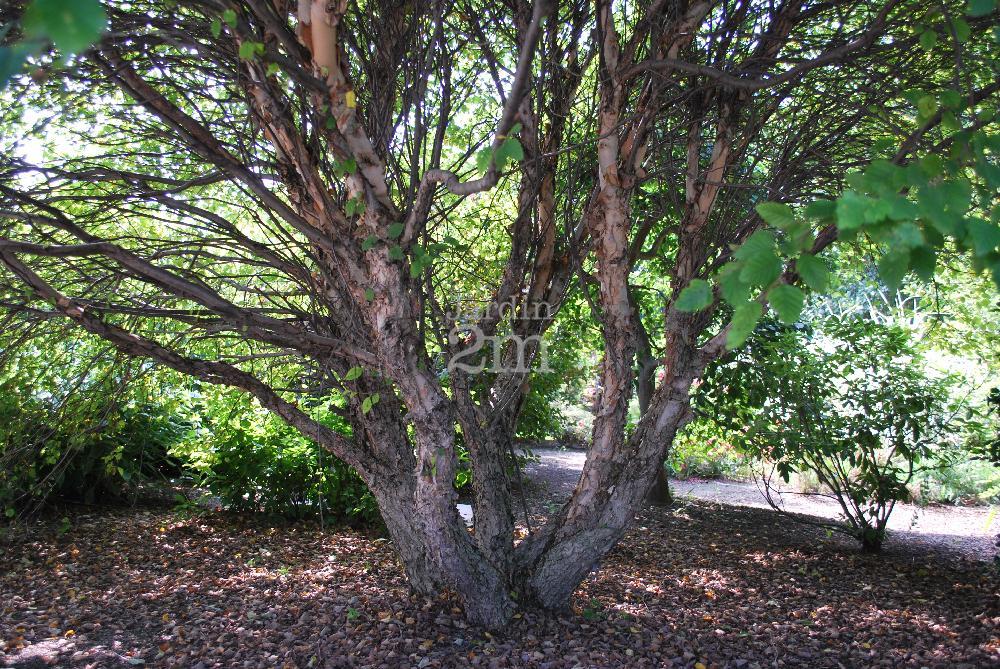 betula nigra little king bouleau noir dwarf river birch nos v g taux jardin2m. Black Bedroom Furniture Sets. Home Design Ideas