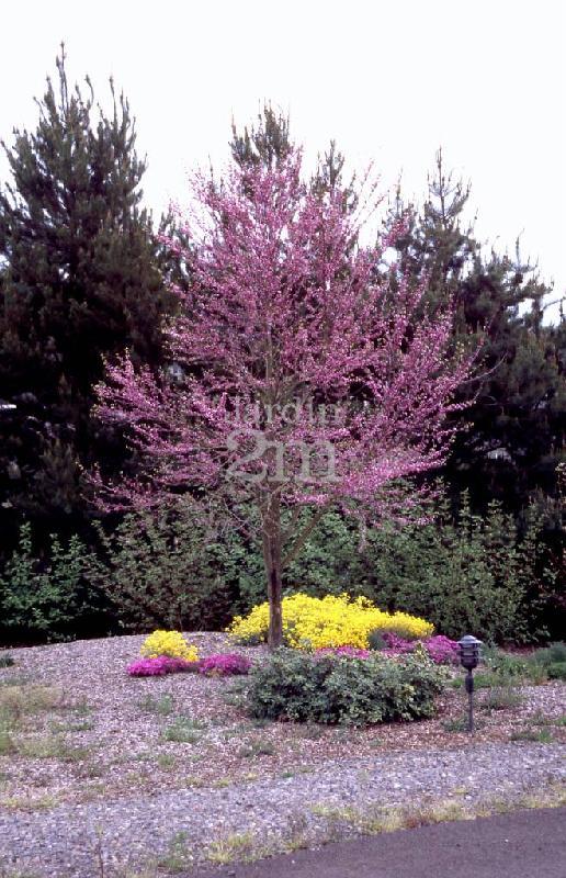 cercis canadensis forest pansy gainier rouge du canada eastern redbud nos v g taux. Black Bedroom Furniture Sets. Home Design Ideas