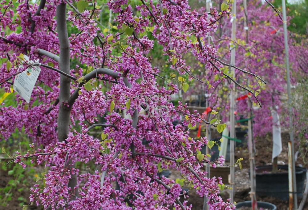 cercis canadensis lavender twist covey gainier rouge du canada eastern redbud nos. Black Bedroom Furniture Sets. Home Design Ideas