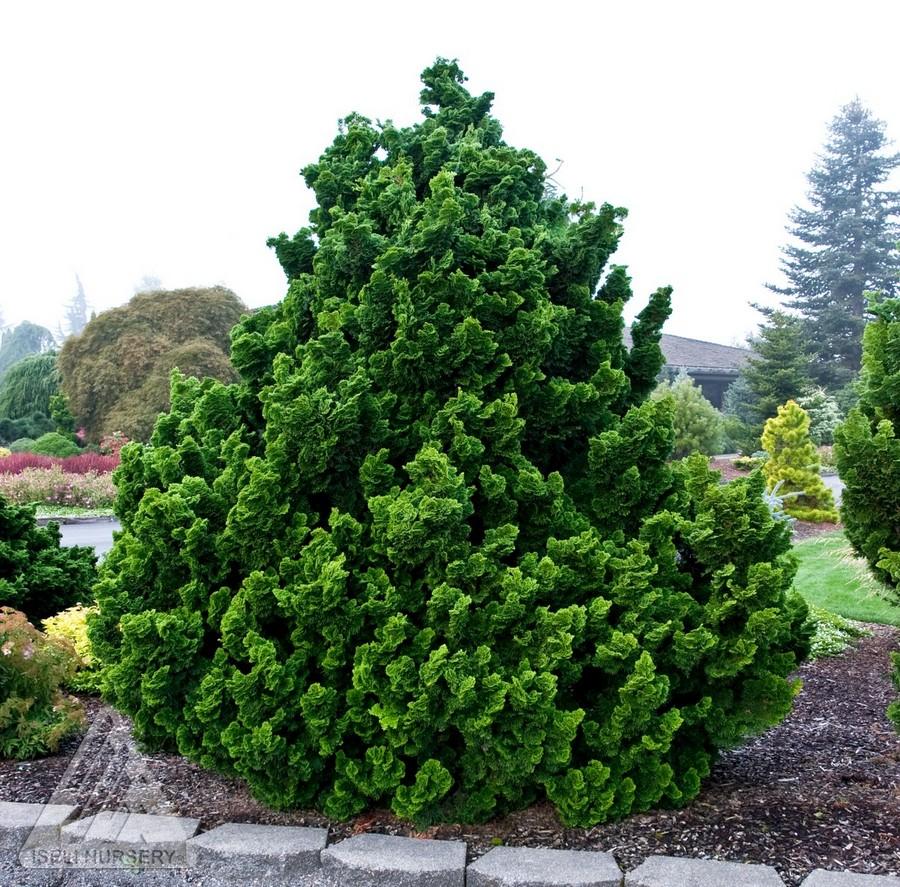 chamaecyparis obtusa nana gracilis tige faux cypres nain dwarf hinoki false cypress. Black Bedroom Furniture Sets. Home Design Ideas