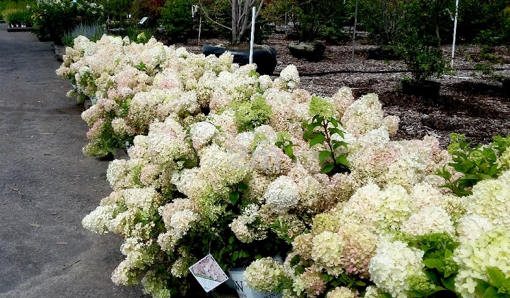 hydrangea paniculata bobo hydrangee paniculee panicle hydrangea nos v g taux jardin2m. Black Bedroom Furniture Sets. Home Design Ideas