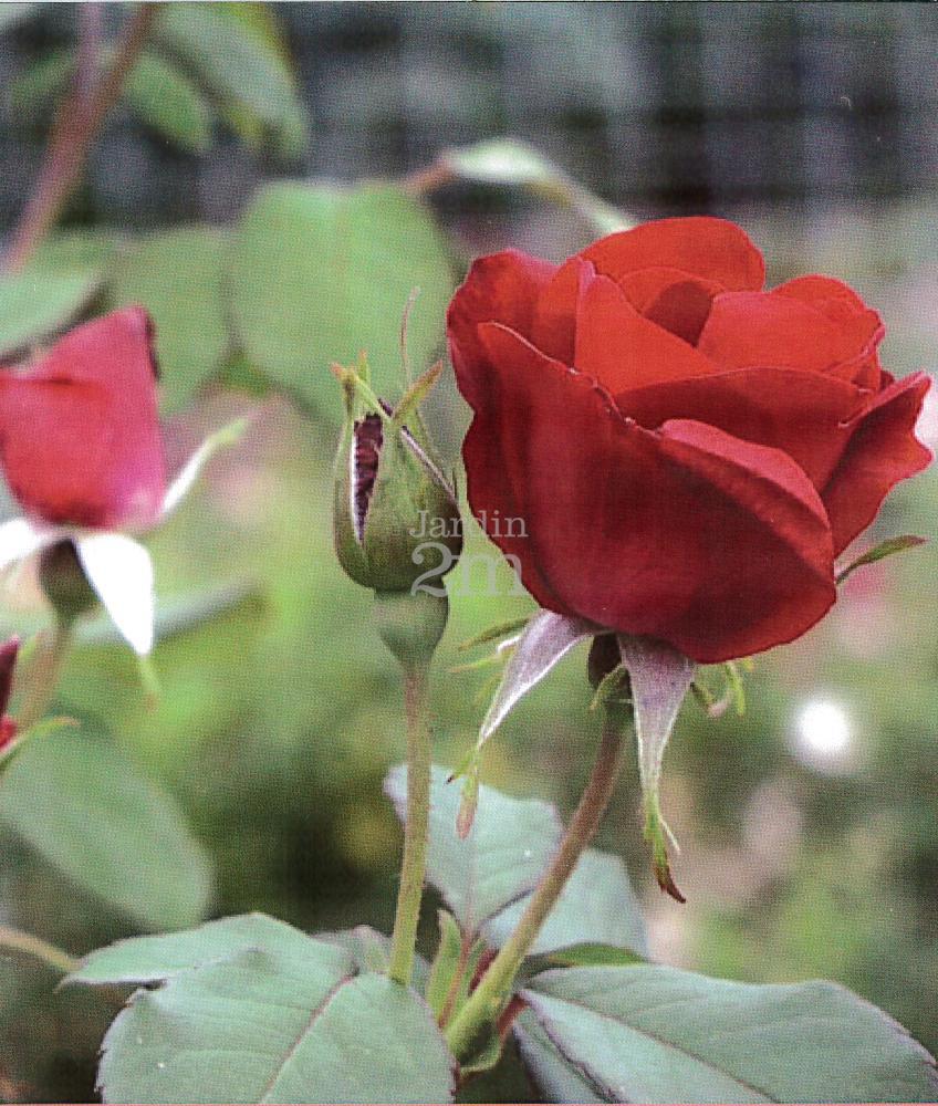 rosa rugosa emily carr rosier rustique rose nos v g taux jardin2m. Black Bedroom Furniture Sets. Home Design Ideas