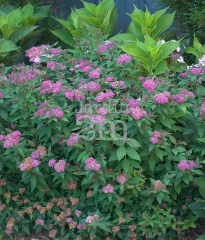 Spiraea Japonica Double Play Artisan Spiree Japonaise Japanese