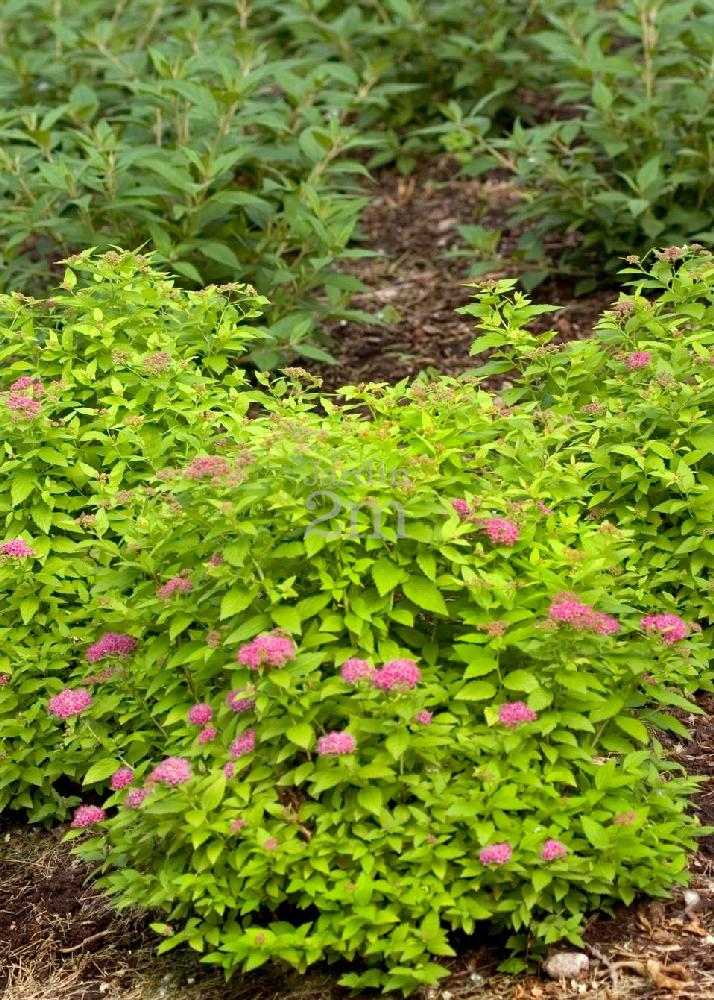 Spiraea Japonica Double Play Gold Spiree Japonaise Japanese
