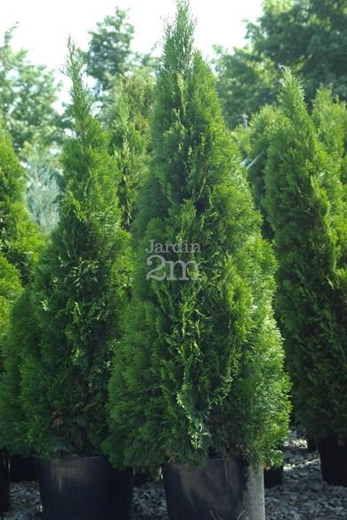 Thuja occidentalis Smaragd  Plant Finder